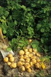 Les pommes de terre de l ile de noirmoutier - Comment cuisiner les pommes de terre de noirmoutier ...