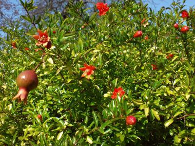La grenade fruit sacr - Le fruit la grenade ...
